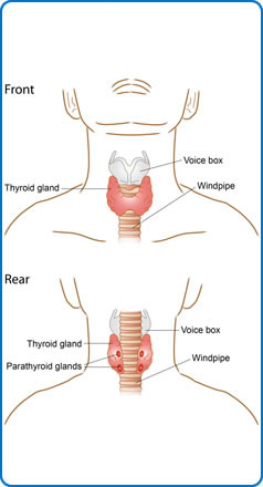 what is a Thyroid Gland?